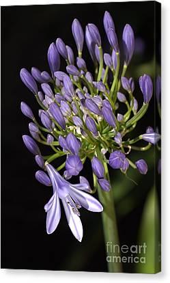 Flower- Agapanthus-blue-buds-one-flower Canvas Print by Joy Watson