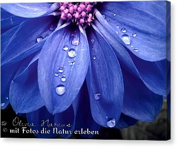 Flower And Drops Canvas Print by Olivia Narius