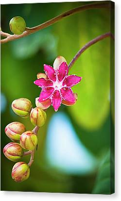 Flower Blossoming With Buds On A Stem Canvas Print