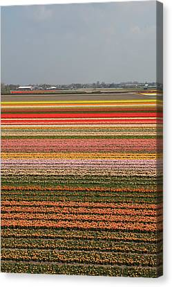 Nederland Canvas Print - Flower Fields In Holland by Dave Walsh