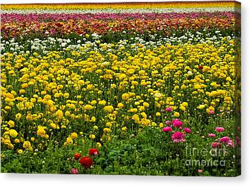 Flower Fields Canvas Print by Peggy Hughes