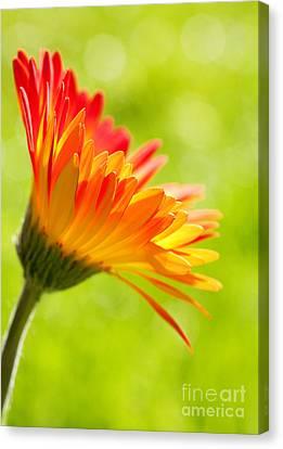 Flower In The Sunshine - Orange Green Canvas Print by Natalie Kinnear