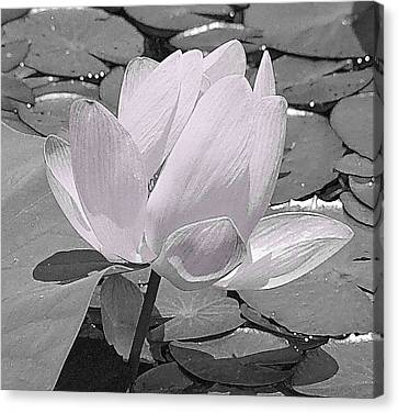 Flower Lilly Pad Canvas Print by Steve Archbold