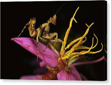 Flower Mantis Nymph Canvas Print by Mark Moffett