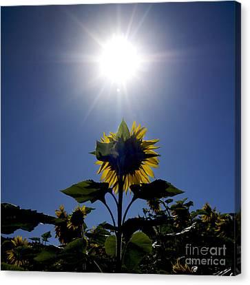 Flower Of Sunflowers Canvas Print by Bernard Jaubert