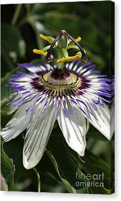 flower-Passionfruit Canvas Print by Joy Watson