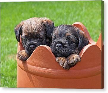 Flower Pot Puppies-border Terriers Canvas Print