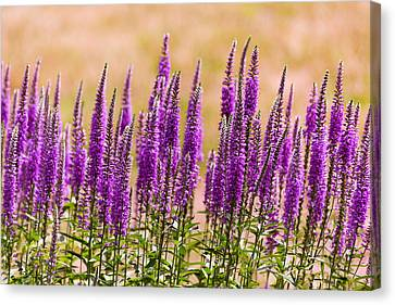 Flower - Speedwell Figwort Family - I Dream Of Lavender  Canvas Print by Mike Savad