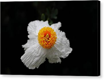 Flower Sunny Side Up Canvas Print