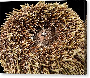 Flower Urchin Canvas Print by Natural History Museum, London