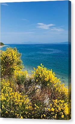 Flowering Broom At Coastal Landscape Canvas Print