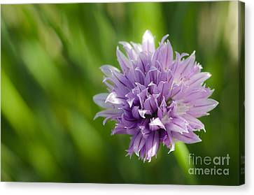 Flowering Chive Canvas Print by Dee Cresswell