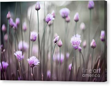 Flowering Chives Iv Canvas Print