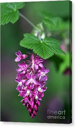 Flowering Currant Canvas Print by Sharon Talson