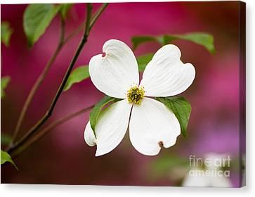 Flowering Dogwood Blossoms Canvas Print by Oscar Gutierrez