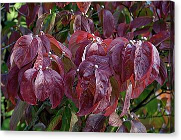 Flowering Dogwood (cornus Florida) Canvas Print