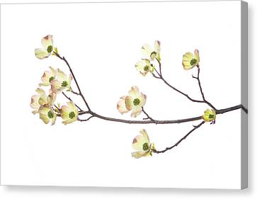 Flowering Dogwood (cornus Florida Canvas Print