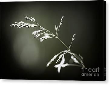 Flowering Grass Canvas Print by Elena Elisseeva