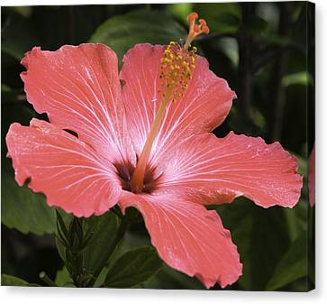 Flowering Hibiscus Canvas Print by John Holloway