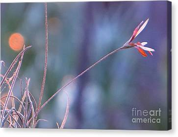 Canvas Print featuring the photograph Flowering Moss by Joy Hardee