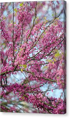 Canvas Print featuring the photograph Flowering Redbud Tree by Suzanne Powers