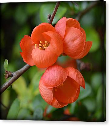 John Tidball Canvas Print - Flowering Quince by Bishopston Fine Art