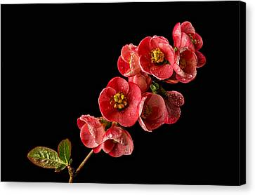 Close Focus Floral Canvas Print - Flowering Quince by Mary Jo Allen