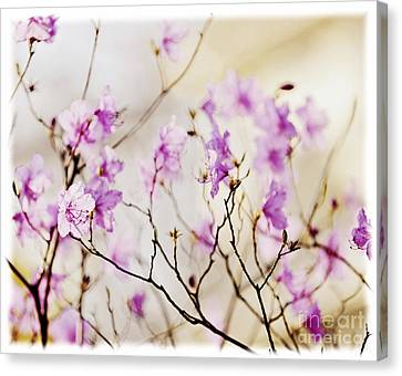 Flowering Rhododendron Canvas Print by Elena Elisseeva