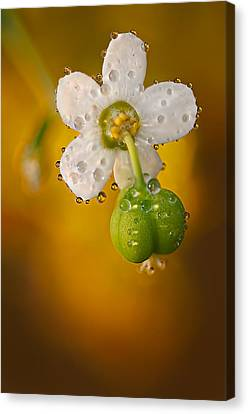 Flowering Spurge  Canvas Print