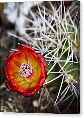 Blooming Texas Cactus Canvas Print