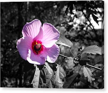 Flowering Canvas Print by Tom DiFrancesca