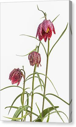 Flowers Of The Fritillaria Meleagris Canvas Print by Patricia Hofmeester