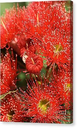 Flowers-red Eucalyptus-australian Native Flora Canvas Print by Joy Watson