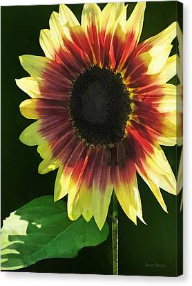 Flowers - Sunflower Ring Of Fire Canvas Print by Susan Savad