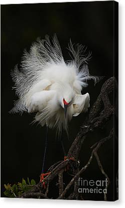 Fluffed Snowy Egret Canvas Print by Jane Axman