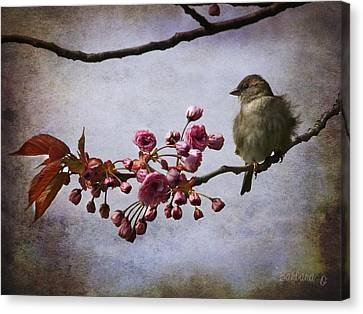 Fluffy Sparrow  Canvas Print by Barbara Orenya