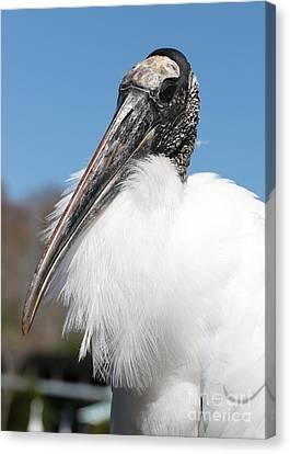 Fluffy Wood Stork Canvas Print by Carol Groenen