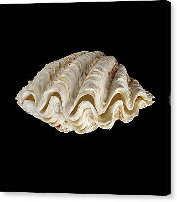Wavy Canvas Print - Fluted Giant Clam Shell by Science Photo Library