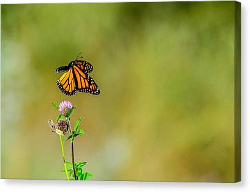 Flutter-by Canvas Print