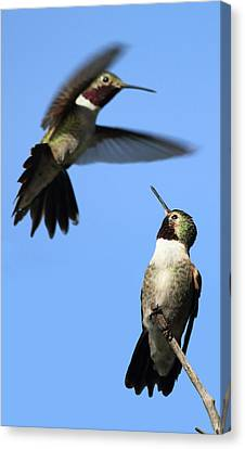 Fluttering Canvas Print by Shane Bechler
