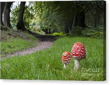 Fly Agaric Mushrooms Canvas Print by Tim Gainey