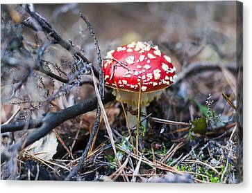 Fly Agaric Toadstool Canvas Print by David Isaacson
