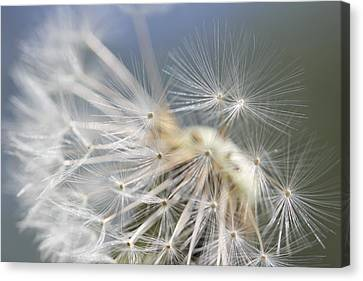 Fly Away Dandelion Seeds  Canvas Print by Jennie Marie Schell