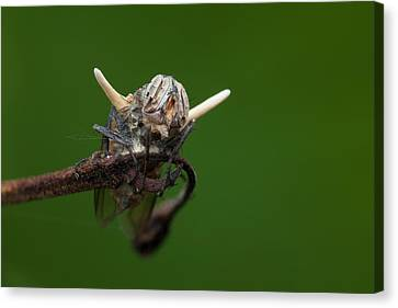 Fly Killed By A Parasitic Fungus Canvas Print by Melvyn Yeo