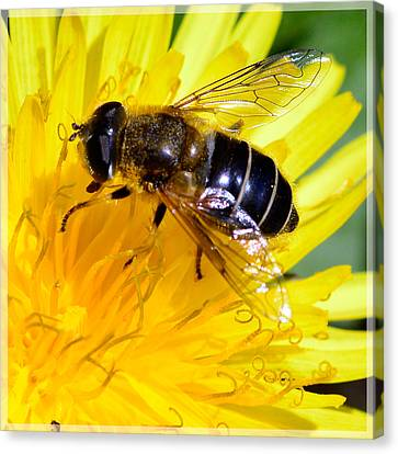 Fly On Dandelion Canvas Print by Tommytechno Sweden