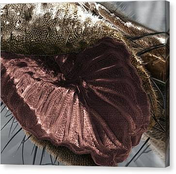 Fly Proboscis Canvas Print by Dr Clifford Barnes, University Of Ulster