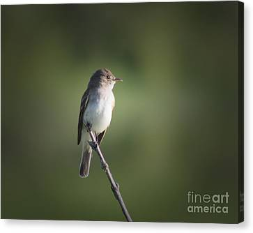 Canvas Print featuring the photograph Flycatcher In Meditation by Anita Oakley