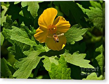 Flying Bee And Wood Poppy Canvas Print by Byron Varvarigos