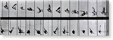 Flying Bird Canvas Print by Eadweard Muybridge