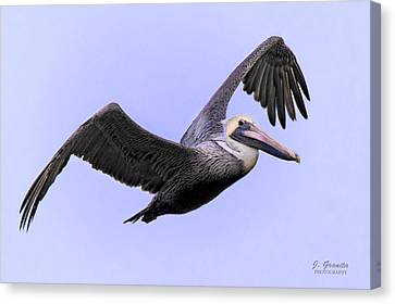South Carolina State Bird Canvas Print - Flying Brown Pelican by Joe Granita